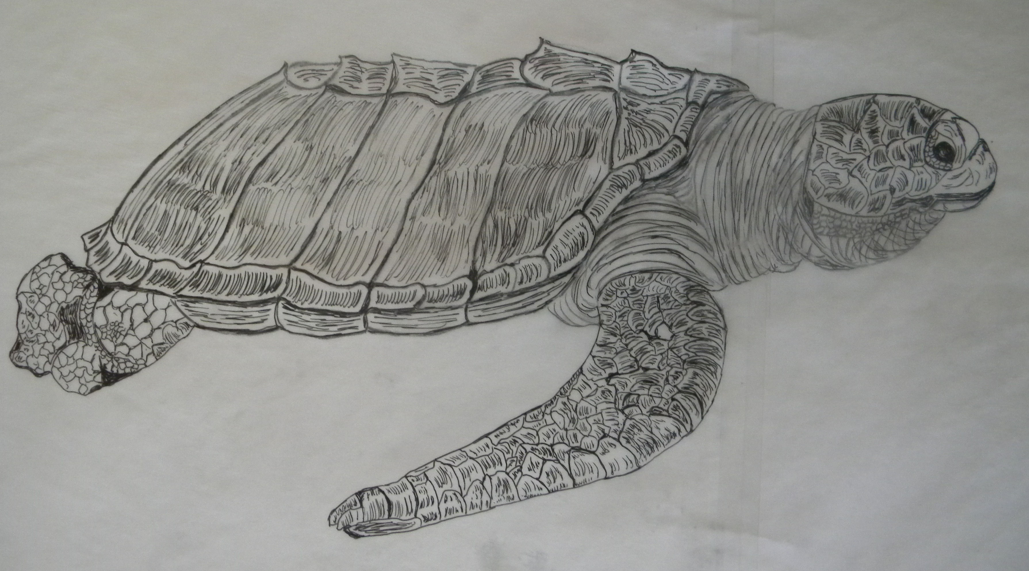 Olive Ridley Sea Turtle Drawings Pencil and Pen Patsys
