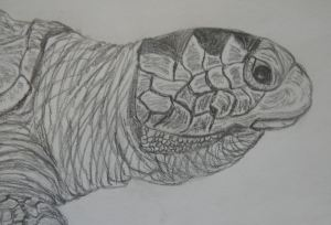 Olive Ridley pencil close-up