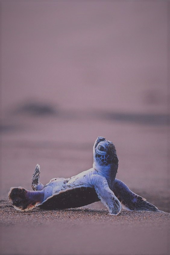 baby-sea-turtle-kicking-back