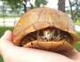"Bruce Explains Box Turtles: About the ""Box"""